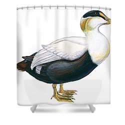 Common Eider Shower Curtain by Anonymous