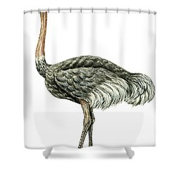 Common Ostrich Shower Curtain by Anonymous