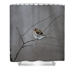 Shower Curtain featuring the photograph Common Redpoll by David Porteus