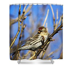 Common Redpoll Female Shower Curtain by Alyce Taylor
