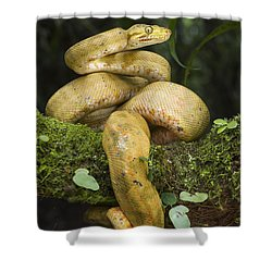 Common Tree Boa -yellow Morph Shower Curtain by Pete Oxford