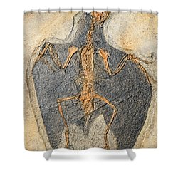 Confuciusornis Fossil Shower Curtain by Millard H Sharp