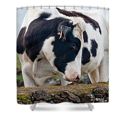 Cow With Head Turned Shower Curtain