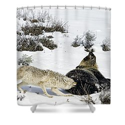Shower Curtain featuring the photograph Coyote Biting A Grizzly by J L Woody Wooden