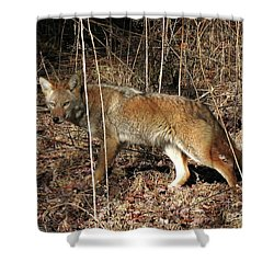 Coyote In The Cove Shower Curtain by Douglas Stucky