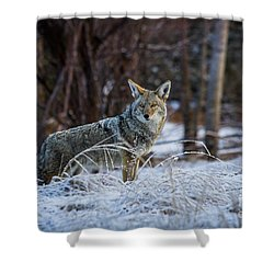 Coyote In The Meadow  Shower Curtain