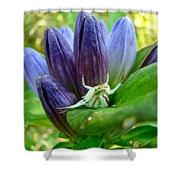 Crab Spider On Closed Gentian Wildflower - Gentiana Andrewsii Shower Curtain by Mother Nature