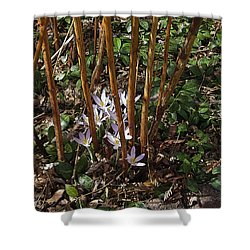 Shower Curtain featuring the photograph Crocuses And Raspberry Canes by Donald S Hall