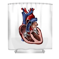 Cross Section Of Human Heart Shower Curtain by Stocktrek Images