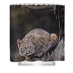 Crouching Bobcat Montana Wildlife Shower Curtain by Dave Welling