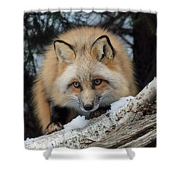Curious Fox Shower Curtain by Richard Bryce and Family