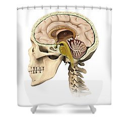 Cutaway View Of Human Skull Showing Shower Curtain by Leonello Calvetti