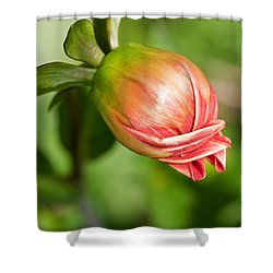 Shower Curtain featuring the photograph Dahlia Bud by Sue Smith