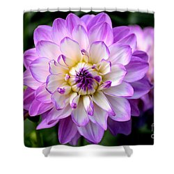 Dahlia Flower With Purple Tips Shower Curtain