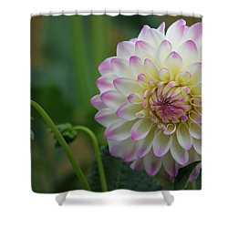 Dahlia In The Mist Shower Curtain