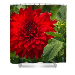 Dahlia Perfection Shower Curtain