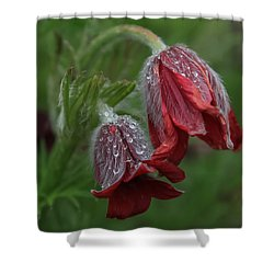 Dew Covered Pasque Flower Shower Curtain
