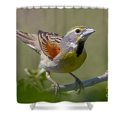 Dickcissel Shower Curtain by Gary Holmes