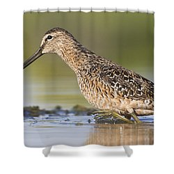 Dowitcher In The Water Shower Curtain