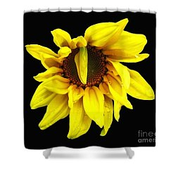 Shower Curtain featuring the photograph Droops Sunflower With Oil Painting Effect by Rose Santuci-Sofranko