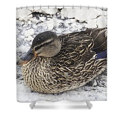 Duck Setting On A Winter Road Shower Curtain