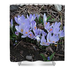 Shower Curtain featuring the photograph Early Crocuses by Donald S Hall