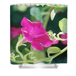 Shower Curtain featuring the photograph Early Morning Petunias by Alan Lakin