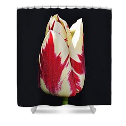 Easter Greetings - Twinkle Tulip Shower Curtain by Felicia Tica