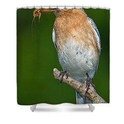 Eastern Bluebird With Katydid Shower Curtain by Jerry Fornarotto