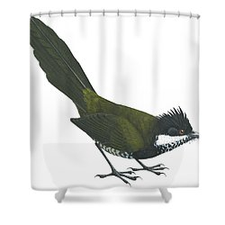 Eastern Whipbird Shower Curtain by Anonymous