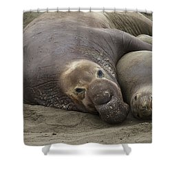 Elephant Seal Couple Shower Curtain by Duncan Selby