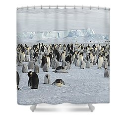 Emperor Penguins Aptenodytes Forsteri Shower Curtain