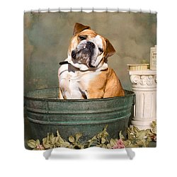 English Bulldog Portrait Shower Curtain by James BO  Insogna