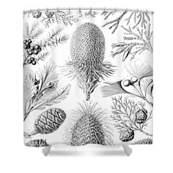 Examples Of Coniferae From Kunstformen Shower Curtain by Ernst Haeckel