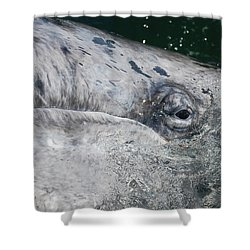 Shower Curtain featuring the photograph Eye Of A Young Gray Whale by Don Schwartz