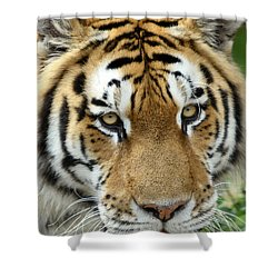 Eyes Of The Tiger Shower Curtain by John Haldane