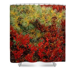 Fall Blueberries And Pine-sq Shower Curtain