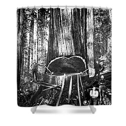 Falling A Giant Sequoia C. 1890 Shower Curtain by Daniel Hagerman