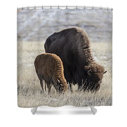 Bison Calf Having A Meal With Its Mother Shower Curtain