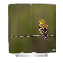 Female American Goldfinch Shower Curtain by Douglas Stucky