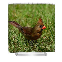 Female Cardinal Shower Curtain by Bob Sample
