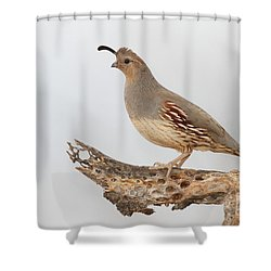 Female Gambel's Quail Shower Curtain