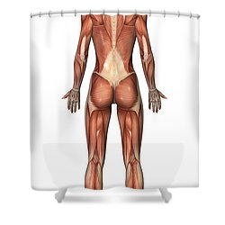 Female Muscular System, Back View Shower Curtain by Stocktrek Images