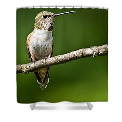 Female Rufous Hummingbird In A Tree Shower Curtain