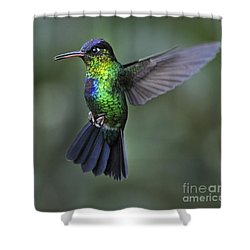 Fiery-throated Hummingbird..  Shower Curtain