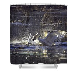 Fighting Swans Boxley Mill Pond Shower Curtain by Michael Dougherty