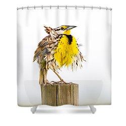 Flluffy Meadowlark Shower Curtain by Bill Swindaman