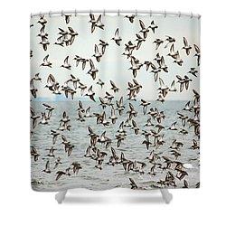 Flock Of Dunlin Shower Curtain by Karol Livote
