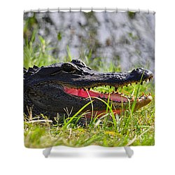 Gator Grin Shower Curtain by Al Powell Photography USA