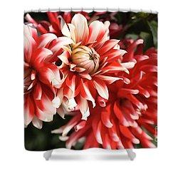 Flower-dahlia-red-white-trio Shower Curtain by Joy Watson